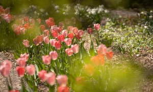 Pink tulips in the sunlight in a garden